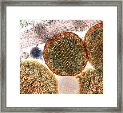 Mitochondria Framed Print by Steve Gschmeissner