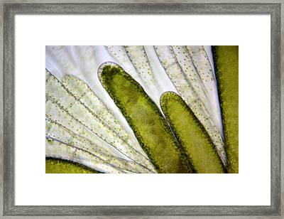 Mnium Moss, Light Micrograph Framed Print by Dr Keith Wheeler