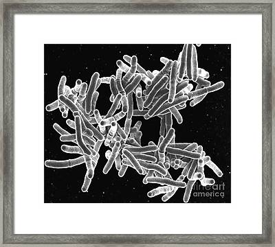 Mycobacterium Tuberculosis Bacteria, Sem Framed Print