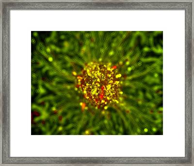 Neurosphere Culture Framed Print by Riccardo Cassiani-ingoni