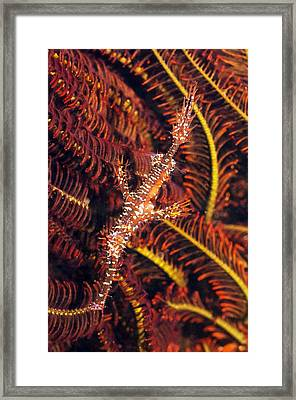 Ornate Ghost Pipefish Framed Print by Georgette Douwma