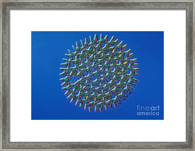 Pediastrum Sp. Algae, Lm Framed Print