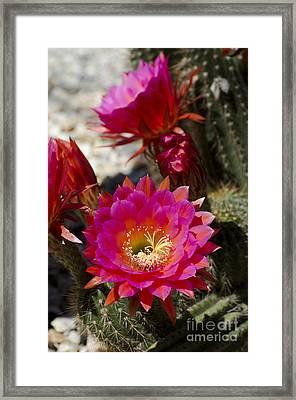 Pink Cactus Flowers Framed Print