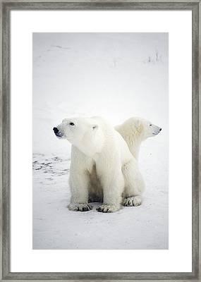 Polar Bear And Cub Framed Print by Chris Martin-bahr