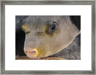 Pufferfish Framed Print