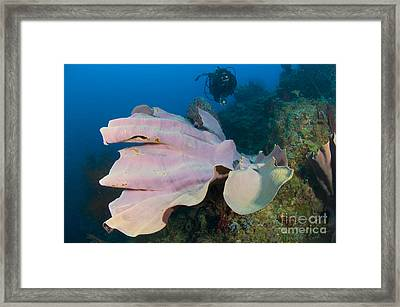 Purple Elephant Ear Sponge With Diver Framed Print by Steve Jones