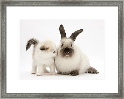 Ragdoll-cross Kitten And Young Framed Print
