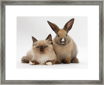 Ragdoll-cross Kitten And Young Rabbit Framed Print by Mark Taylor