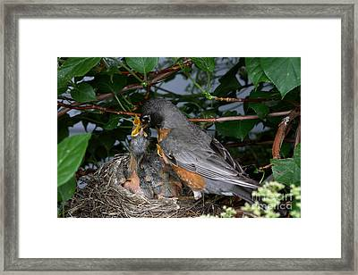 Robin Feeding Its Young Framed Print by Ted Kinsman