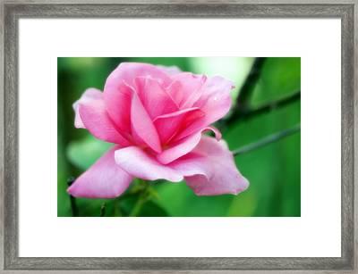 Rose (rosa Sp.) Framed Print by Maria Mosolova