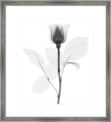 Rose Framed Print by Ted Kinsman