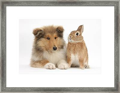 Rough Collie Pup With Rabbit Framed Print by Mark Taylor