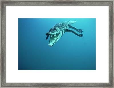 Saltwater Crocodile Crocodylus Porosus Framed Print by Mike Parry