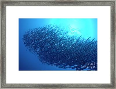 School Of Pelican Barracudas Framed Print by Sami Sarkis