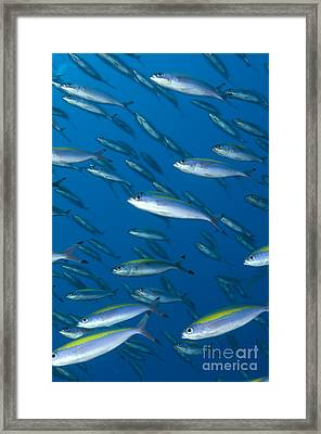 School Of Wide-band Fusilier Fish Framed Print
