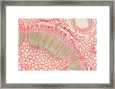 Umbrella Pine Stem Framed Print