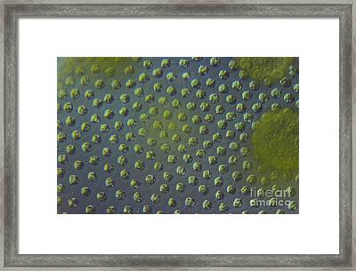 Volvox Aureas Algae Lm Framed Print by M. I. Walker