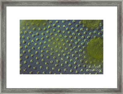 Volvox Aureas Algae Lm Framed Print by M. I. Walker