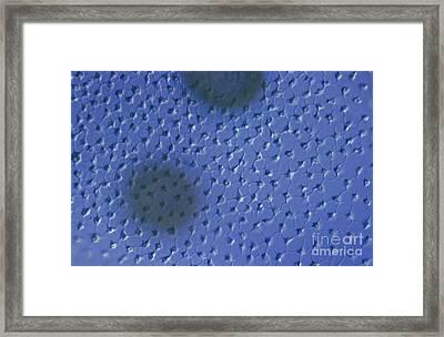 Volvox Globator Algae Lm Framed Print by M. I. Walker