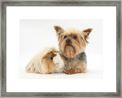 Yorkshire Terrier And Guinea Pig Framed Print by Mark Taylor