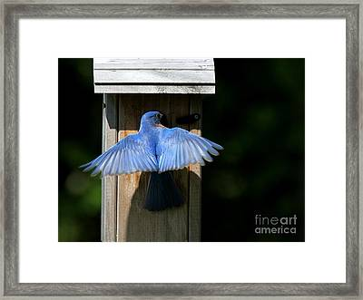 Eastern Bluebird Framed Print by Jack R Brock