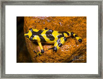 Harlequin Toad Framed Print by Dante Fenolio