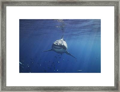 A Great White Shark Swims In Clear Framed Print by Mauricio Handler