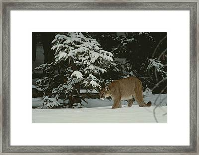 A Mountain Lion, Felis Concolor Framed Print by Jim And Jamie Dutcher