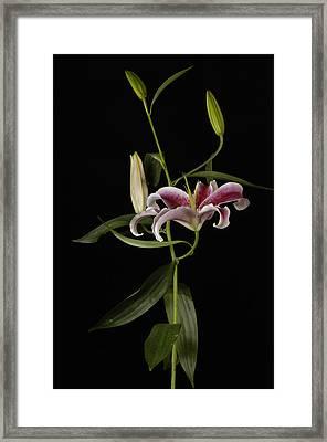 A Stargazer Lily Lilium Orientalis Framed Print by Joel Sartore