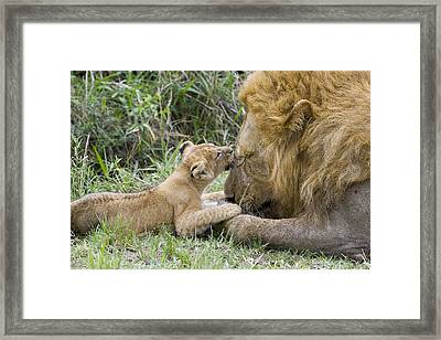 African Lion Cub Playing With Adult Framed Print