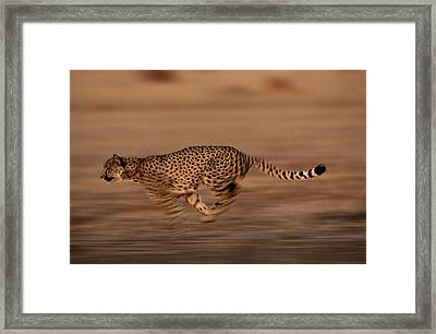 An African Cheetah Acinonyx Jubatus Framed Print by Chris Johns