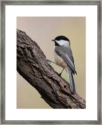 Framed Print featuring the photograph Black-capped Chickadee by Jack R Brock