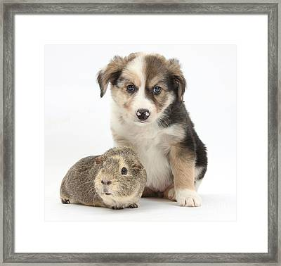 Border Collie Pup And Guinea Pig Framed Print by Mark Taylor