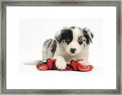 Border Collie Pup Framed Print by Mark Taylor