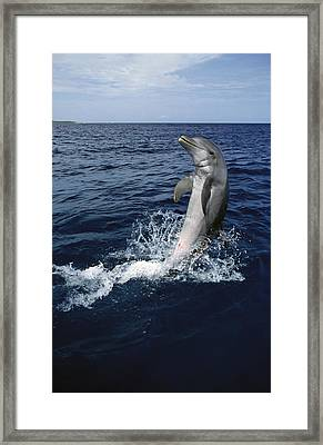 Bottlenose Dolphin Tursiops Truncatus Framed Print by Konrad Wothe