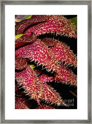Bulbophyllum Orchid Framed Print