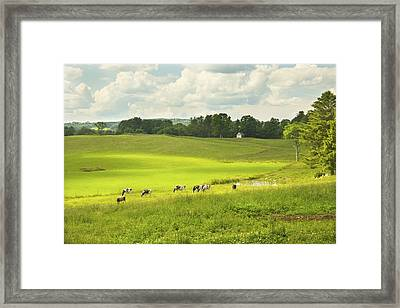 Cows Grazing On Grass In Farm Field Summer Maine Framed Print by Keith Webber Jr