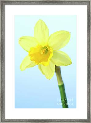 Daffodil (narcissus Sp.) Framed Print by Lawrence Lawry