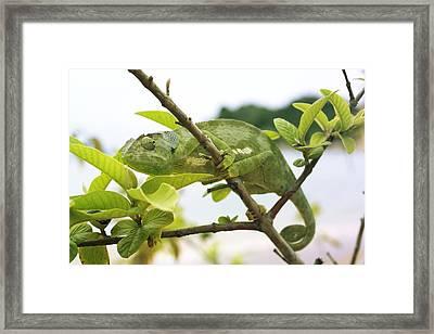 Flap-necked Chameleon Framed Print
