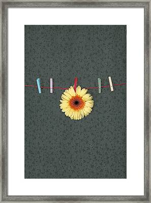 Gerbera Framed Print by Joana Kruse