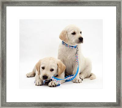 Goldidor Retriever Puppies Framed Print by Jane Burton
