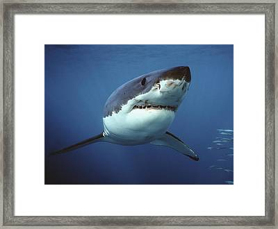 Great White Shark Carcharodon Framed Print by Mike Parry