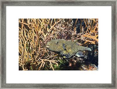 Map Pufferfish Framed Print
