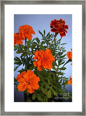 Marigolds Framed Print by Photo Researchers, Inc.