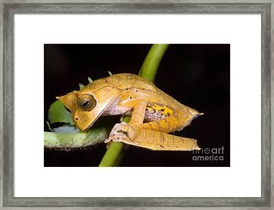 Marsupial Frog Framed Print by Dante Fenolio