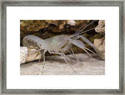 Mclanes Cave Crayfish Framed Print by Dante Fenolio