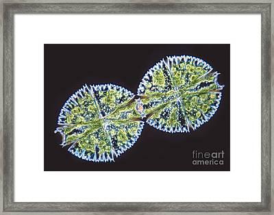 Micrasterias Denticulata Framed Print by M. I. Walker