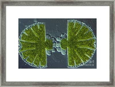 Micrasterias Sp. Algae Lm Framed Print by M. I. Walker