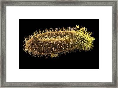 Paramecium Protozoan, Sem Framed Print by Steve Gschmeissner