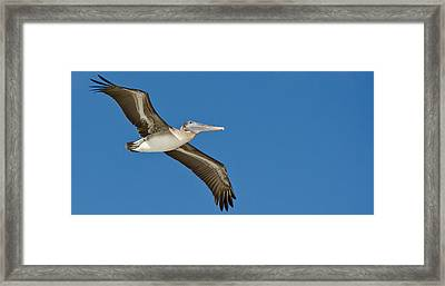 Pelican Framed Print by Mike Rivera